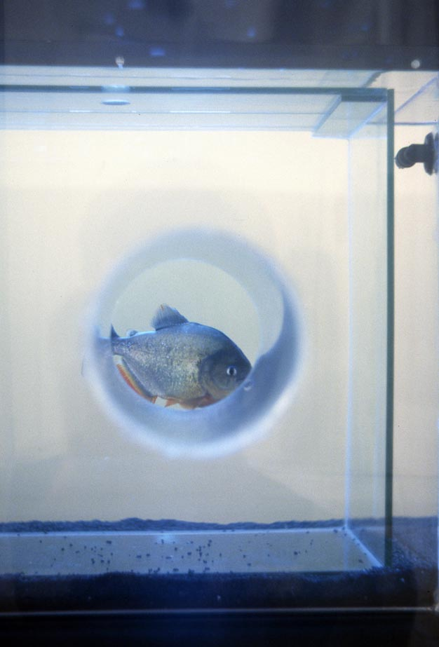 Sophia Kosmaoglou Trial Separation, 1995. Glass, acrylic, metal, gravel, power filter, heaters, fluorescent lamps, piranha, 167 x 102 x 147 cm. Icebox Athens, 1996.