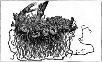 Lloyd, John Uri & Curtis Gates Lloyd [1884] Plate XXIII. A fresh rhizome of Cimicifuga racemosa. In Drugs and Medicines of North America. Cincinnati: Lloyd & Lloyd.